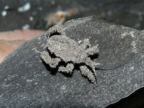 Unknown insect camouflaged as rock detritus - Reduvius