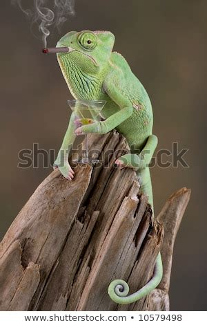A Baby Veiled Chameleon Looks To Be Smoking A Cigar And
