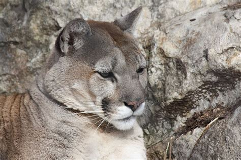 cougar – Wiktionary